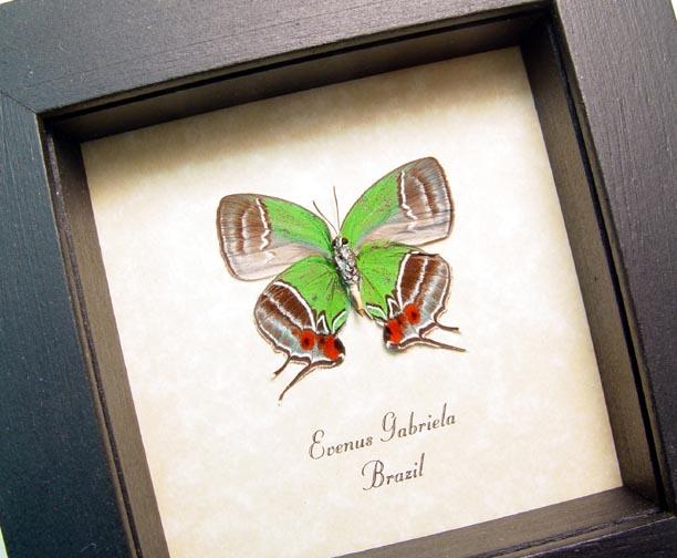 Evenus gabriela - Butterfly Designs - Real Framed Butterflies
