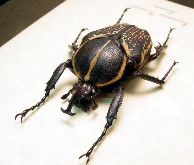 Fornasinius fornasinii Male African Beetle