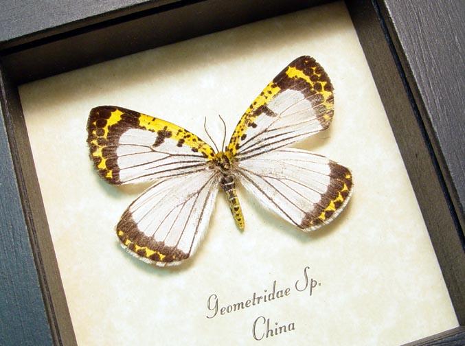 Geometridae Day Flying Moth