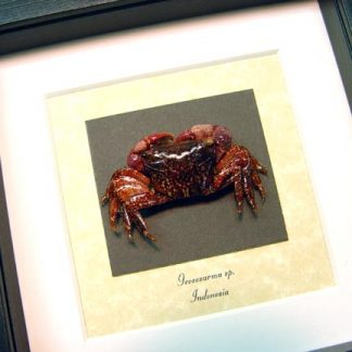 Geosesarma Sp. Purple Vampire Crab, Real Framed Sea Life