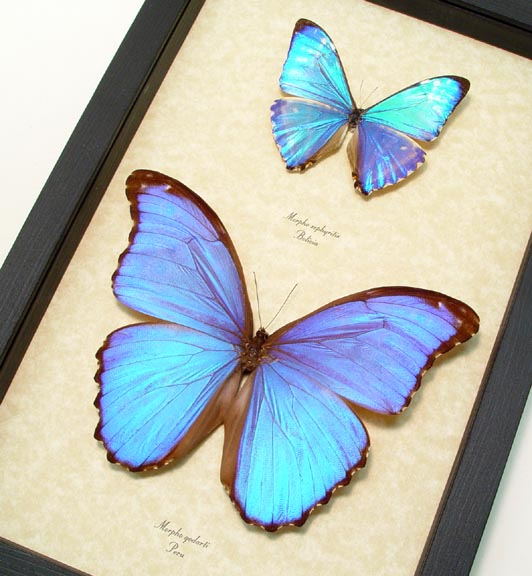 Morpho Butterfly Collection Blue Framed Butterflies