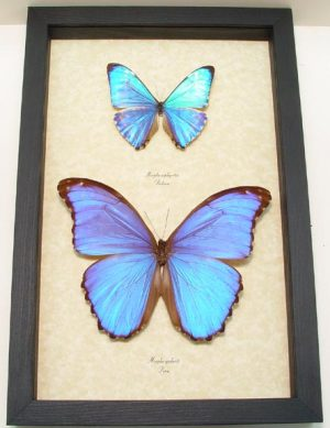 """8""""x12"""" Framed Insects"""
