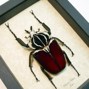 Real Framed beetles by Butterfly-Designs