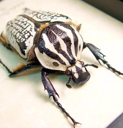 Goliathus orientalis 63mm Female Scarab Beetle Real Framed Insect