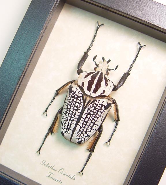 Beetles Scarabs & True Bugs