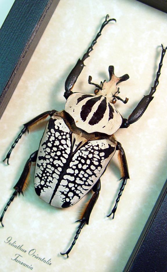 Goliathus orientalis 77mm Rare Large Male Scarab Beetle Real Framed Insect