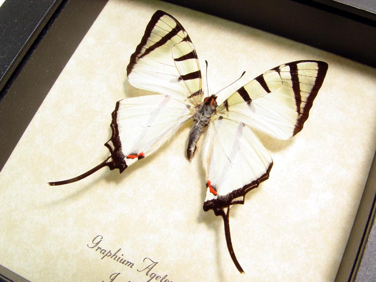 Graphium agetes White Swallowtail Butterfly