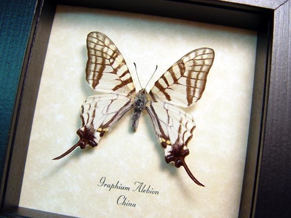 Graphium alebion White Swallowtail