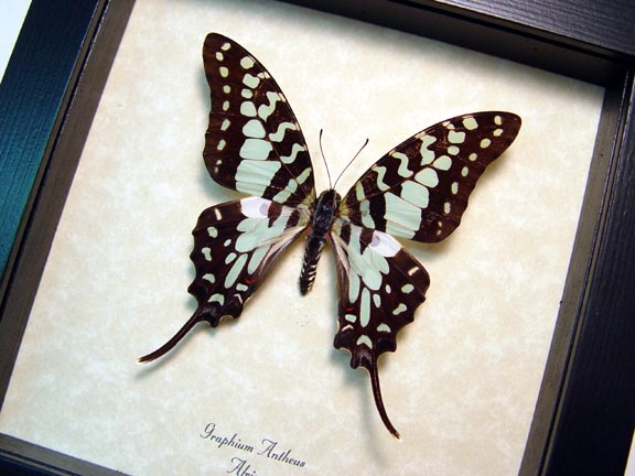 Graphium antheus Swordtail Butterfly