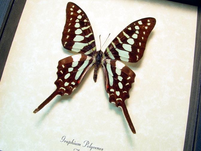 Graphium polycenes Green Swordtail
