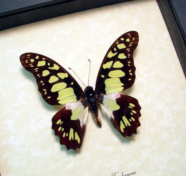Graphium tynderaeus Green Swordtail