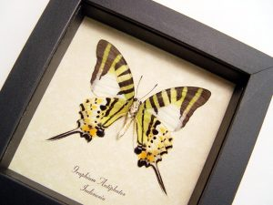 Five bar Swordtail Graphium antiphates Framed Butterfly