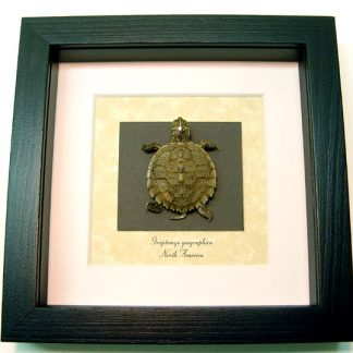 Graptemys geographica Taxidermy Northern map Turtle or Common Map Turtle Real Framed