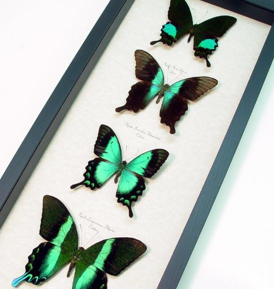 Green Swallowtail Butterflies Set