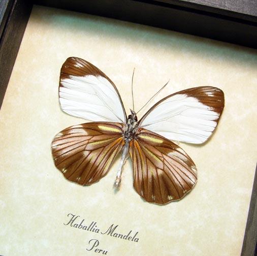 Haballia mandela Peru Butterfly