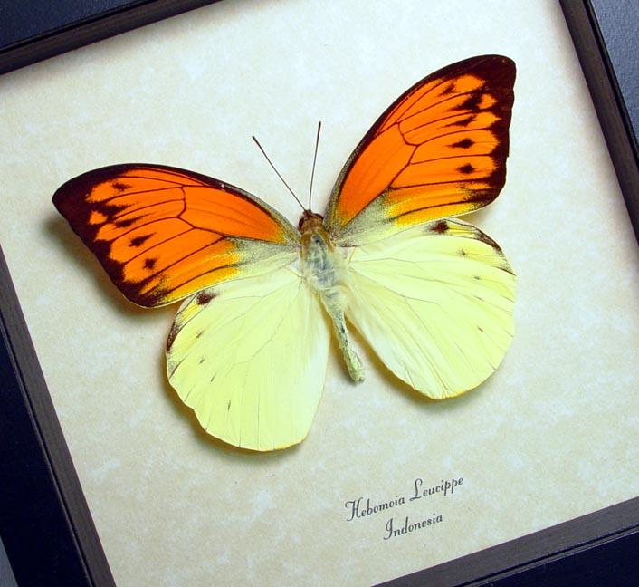Hebomoia leucippe Vibrant Sulpher Framed Butterfly