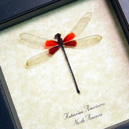 Hetaerina americana Rubyspot Damselfly