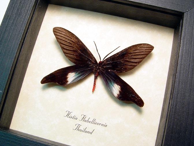 Histia flabellicornis moth