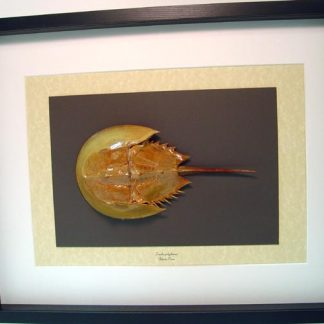 Limulus polyphemus Giant Atlantic horseshoe crab Real Framed Sea Life
