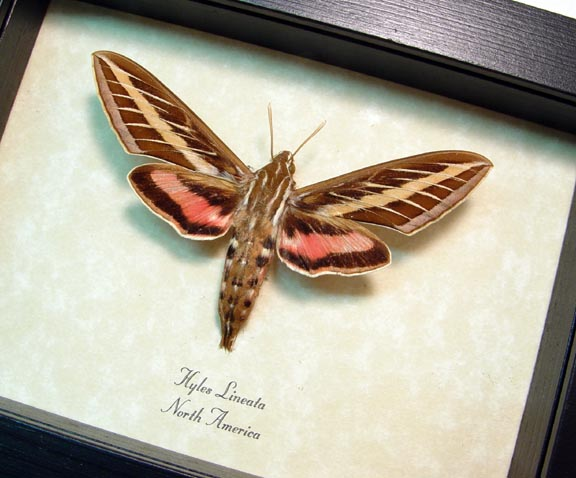 Hyles lineata White Lined Sphinx Moth