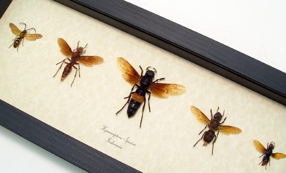 Hymenoptera Wasp Collection