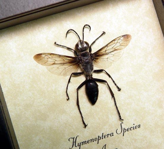 Hymenoptera Silver Wasp