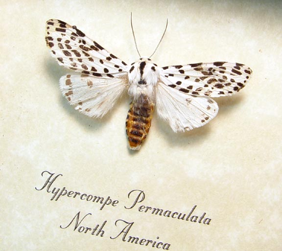 Hypercompe permaculata Tiger Moth