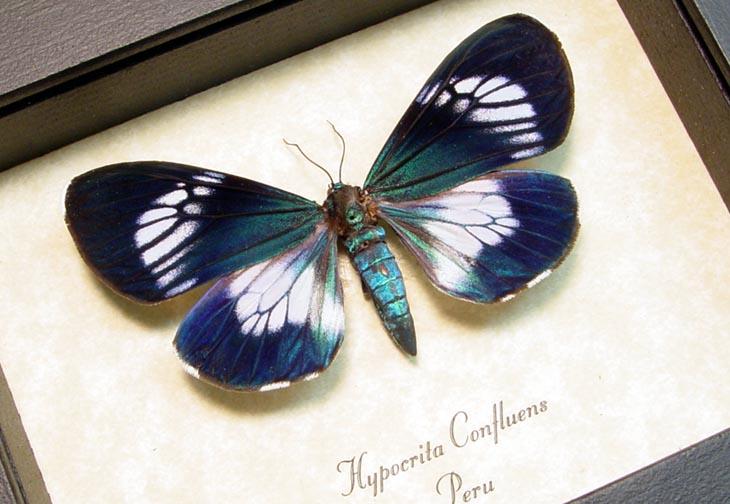 Hypocrita confluens Female Day Flying Moth