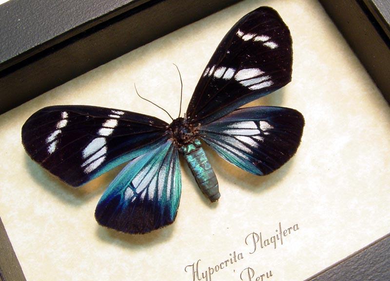 Hypocrita plagifera Day Flying Moth