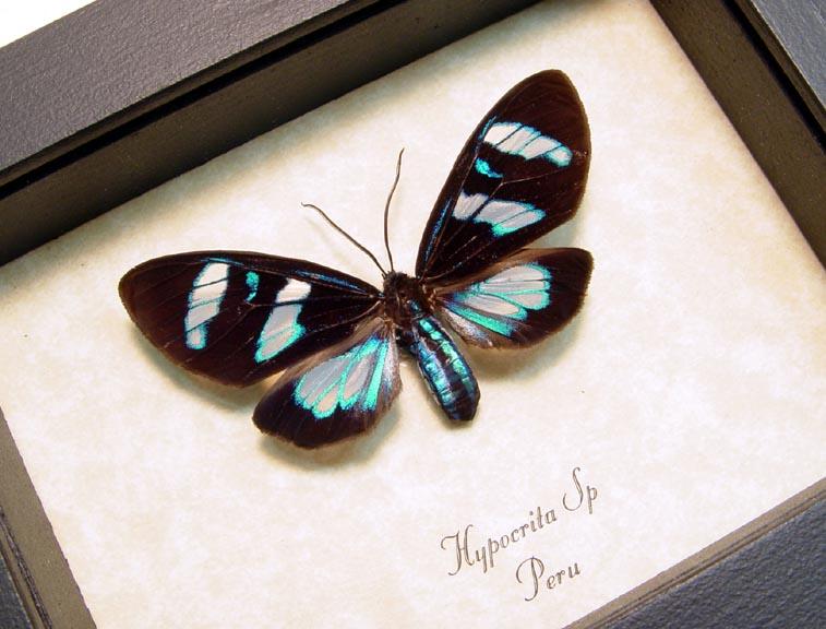 Hypocrita Electric Blue Day Flying Moth
