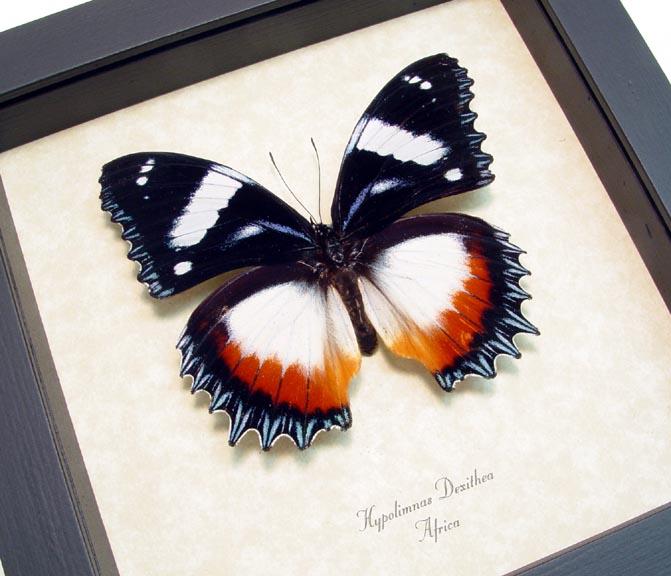 Hypolimnas dexithea Madagascar Diadem Butterfly