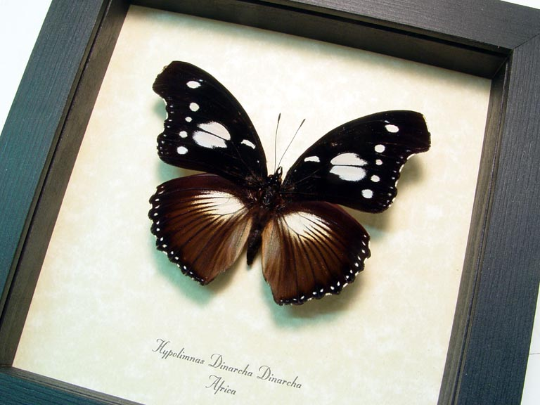 Hypolimnas dinarcha African Butterfly