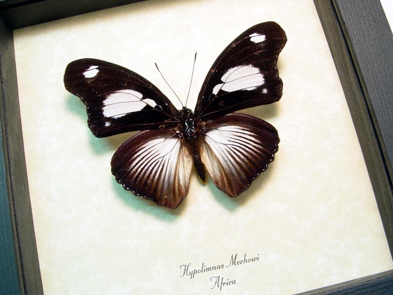 Hypolimnas mechowi African Butterfly