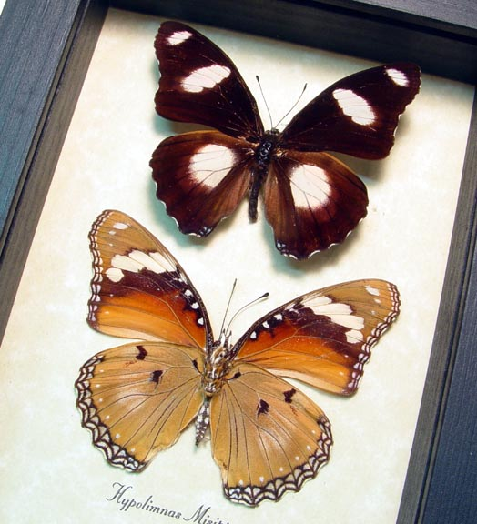 Hypolimnas misippus Pair Butterflies