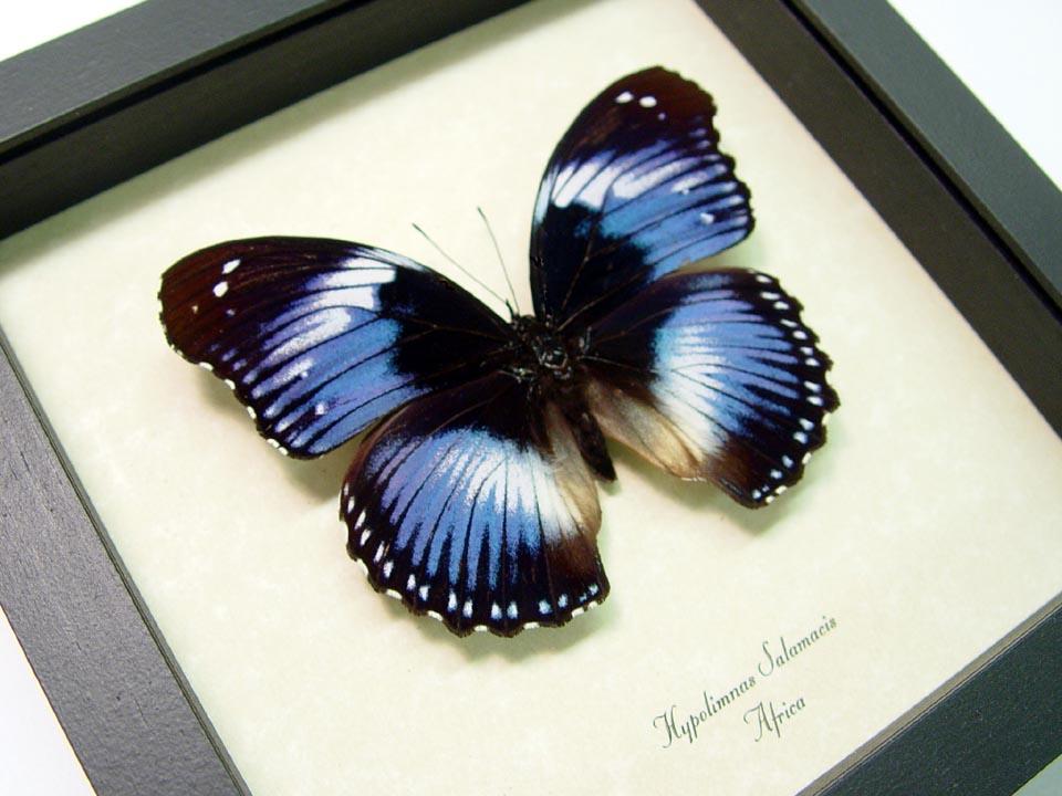 Hypolimnas salamacis Blue Diadem Butterfly