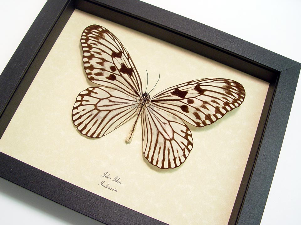 Idea idea - Butterfly Designs - Real Framed Butterflies