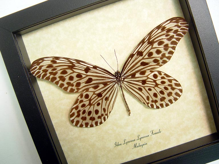Idea lynceus Spotted Rice Paper Butterfly