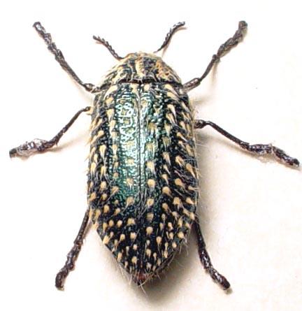 Julodis fascicularis Golden Haired Beetle