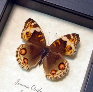 Junonia orithya Female Blue Pansy Butterfly