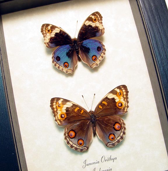 Junonia orithya Pair Blue Pansy Butterflies