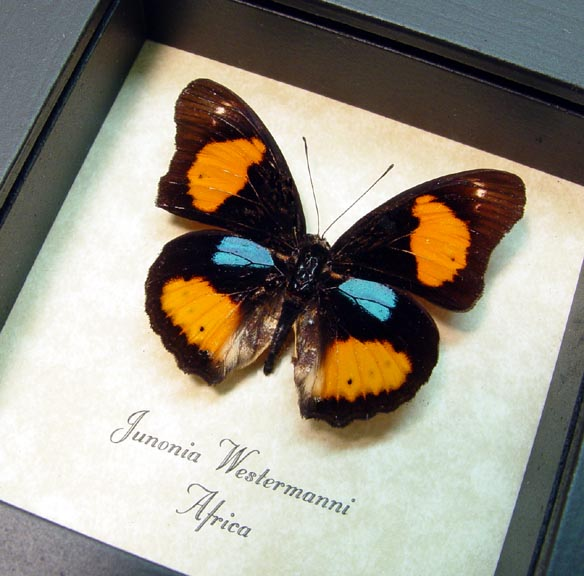 Junonia westermanni Blue Spot Pansy Butterfly