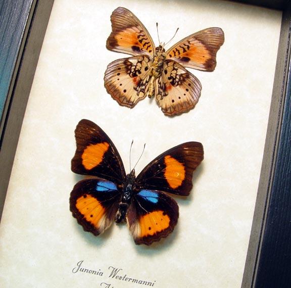 Junonia westermanni Set African Butterflies