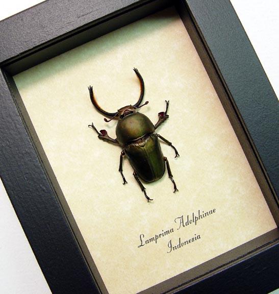 Lamprima adolphinae Bronze Beetle