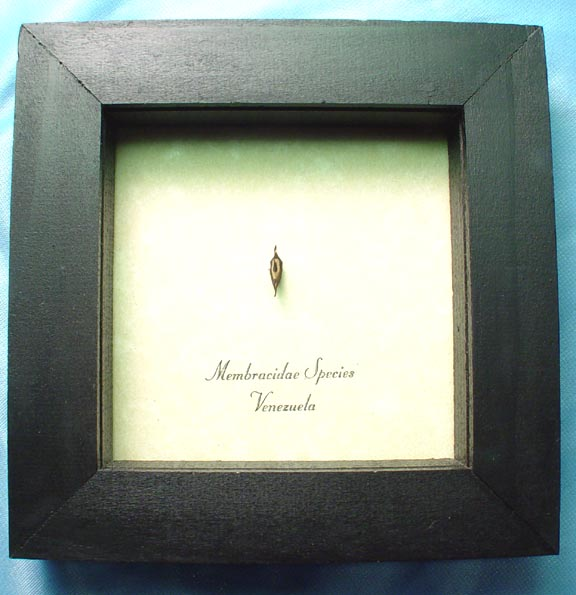 Membracidae Tree Hopper Insect