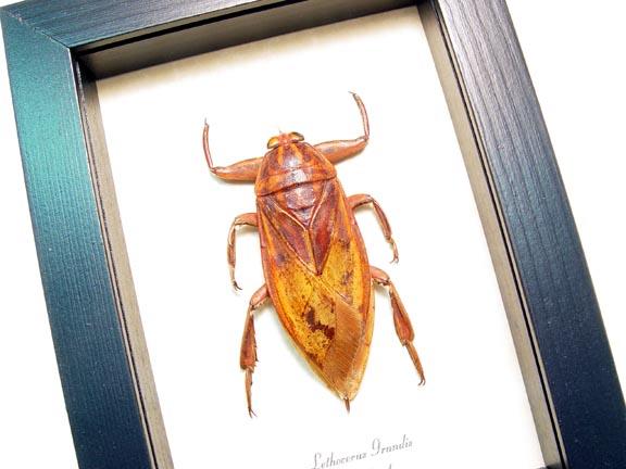 Lethocerus grandis Giant Water Bug