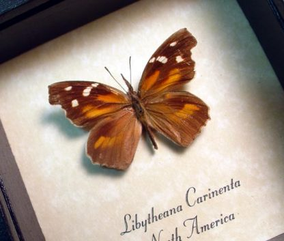 Butterfly - Libytheana carinenta The American Snout Butterfly Real Framed North American Butterfly