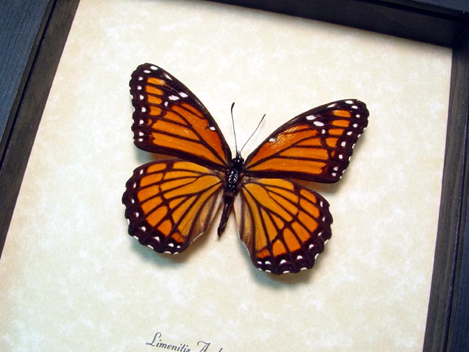 limenitis archippus Viceroy Butterfly