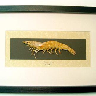 Litopenaeus setiferus Gulf Prawn Southern Shrimp Rainbow Shrimp Real Framed