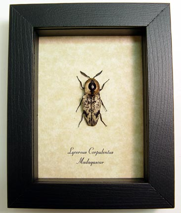 Lycoreus corpulentus Click Beetle
