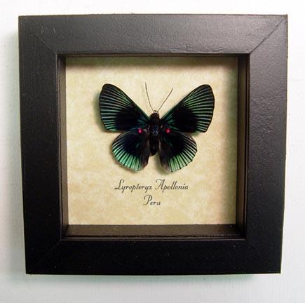 Lyropteryx apollonia Metalmark Butterfly